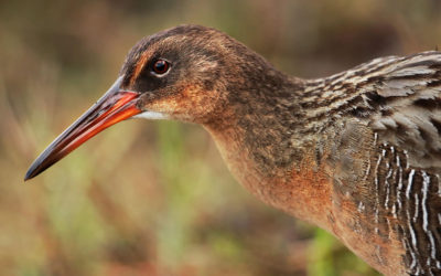 Causes of mortality of California Ridgway's rails
