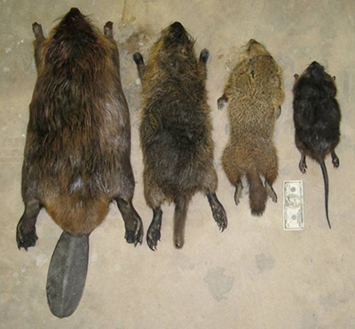 Nutria Identification